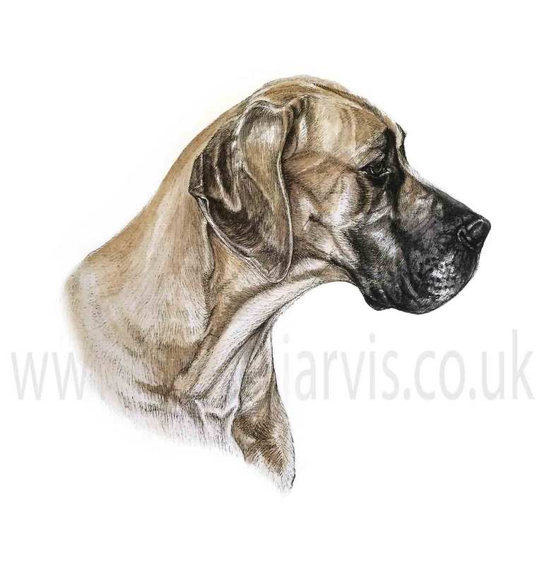 fawn great dane pen and watercolour pet portrait by louise jarvis art, scottish animal artist