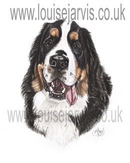 bernese mountain dog commissioned portrait by Louise Jarvis Art scottish animal artist, pet portraits, dog portraits, commission a portrait, crufts, animal artist, scotland, uk