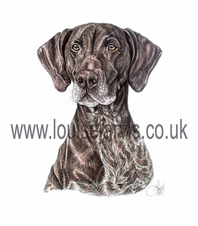 german shorthaired pointer pen and watercolour pet portrait by louise jarvis art, scottish animal artist