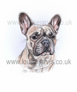french bulldog pen and watercolour pet portrait by louise jarvis art, scottish animal artist
