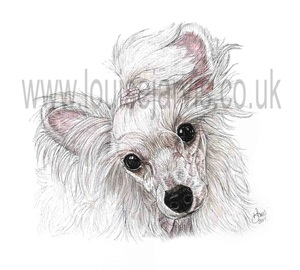 chinese crested commissioned portrait by Louise Jarvis Art scottish animal artist, pet portraits, dog portraits, commission a portrait, crufts, animal artist, scotland, uk