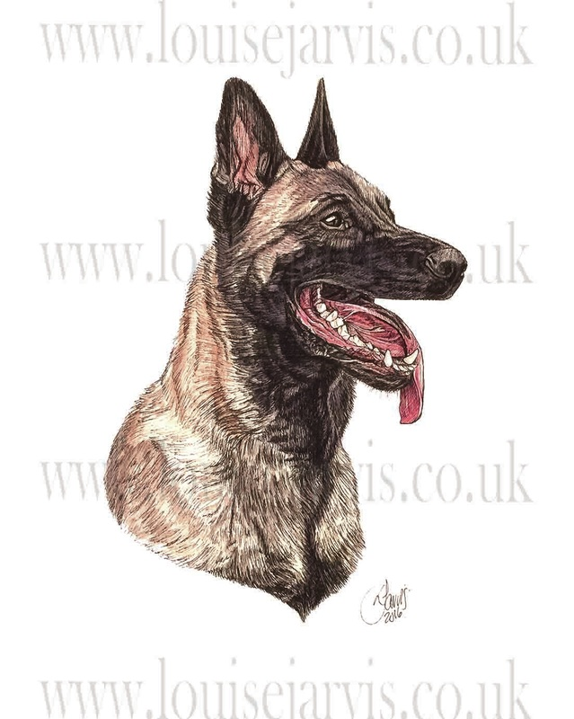 malinois commissioned portrait by Louise Jarvis Art scottish animal artist, pet portraits, dog portraits, commission a portrait, crufts, animal artist, scotland, uk