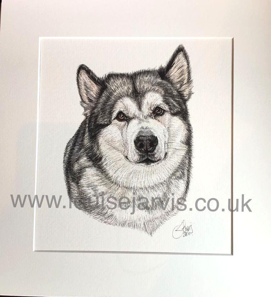alaskan malamute commissioned pen and watercolour and ink portrait by Louise Jarvis Art scottish animal artist, pet portraits, dog portraits, commission a portrait, crufts, top best animal artist, perthshire scotland, uk Picture