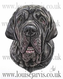 neopolitan mastiff commissioned pen and watercolour and ink portrait by Louise Jarvis Art scottish animal artist, pet portraits, dog portraits, commission a portrait, crufts, top best animal artist, perthshire scotland, uk Picture