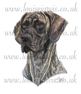selmalda great dane commissioned pen and watercolour and ink portrait by Louise Jarvis Art scottish animal artist, pet portraits, dog portraits, commission a portrait, crufts, animal artist, scotland, uk Picture
