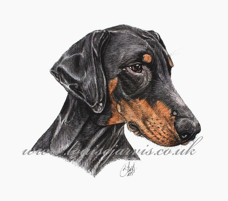 doberman commissioned pen and watercolour and ink portrait by Louise Jarvis Art scottish animal artist, pet portraits, dog portraits, commission a portrait, crufts, top best animal artist, perthshire scotland, uk Picture