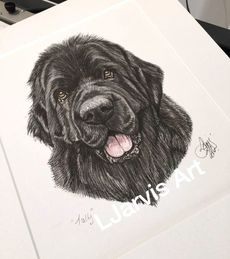 newfoundland commissioned pen and watercolour and ink portrait by Louise Jarvis Art scottish animal artist, pet portraits, dog portraits, commission a portrait, crufts, top best animal artist, perthshire scotland, uk Picture