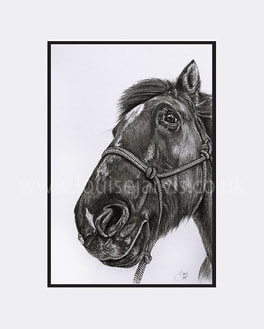 top equine artist, equine art, horse portraits commissioned pen and watercolour and ink portrait by Louise Jarvis Art scottish animal artist, pet portraits, dog portraits, commission a portrait, crufts, top best animal artist, perthshire scotland, uk Picture